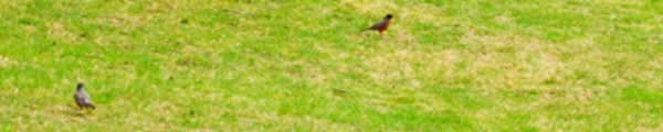 Six Robins Seen in the Park Today