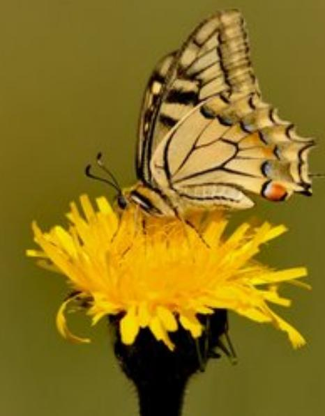 The Dandelion and the Butterfly