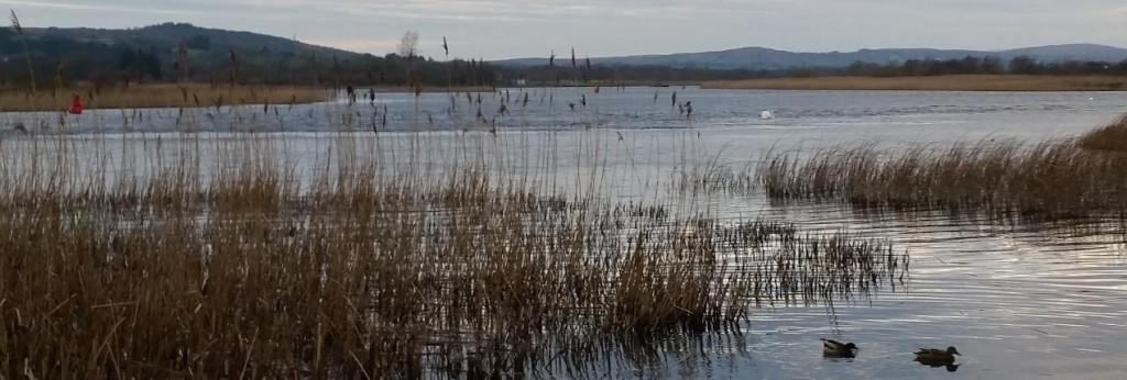 Ducks on the River Corrib at Menlo