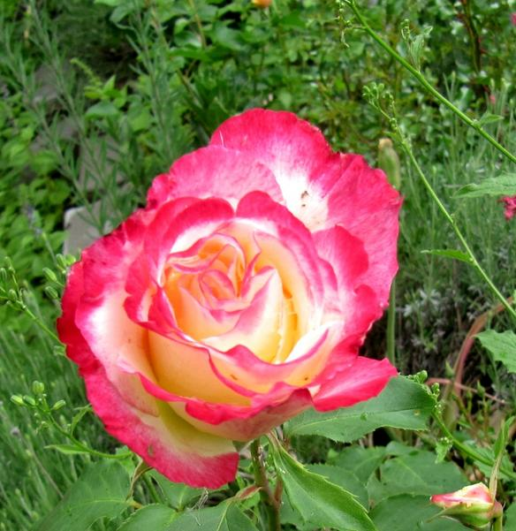A rose among flowers is beautiful sure, but wild among weeds where least expected and most at home, the rose is at its most beautiful...