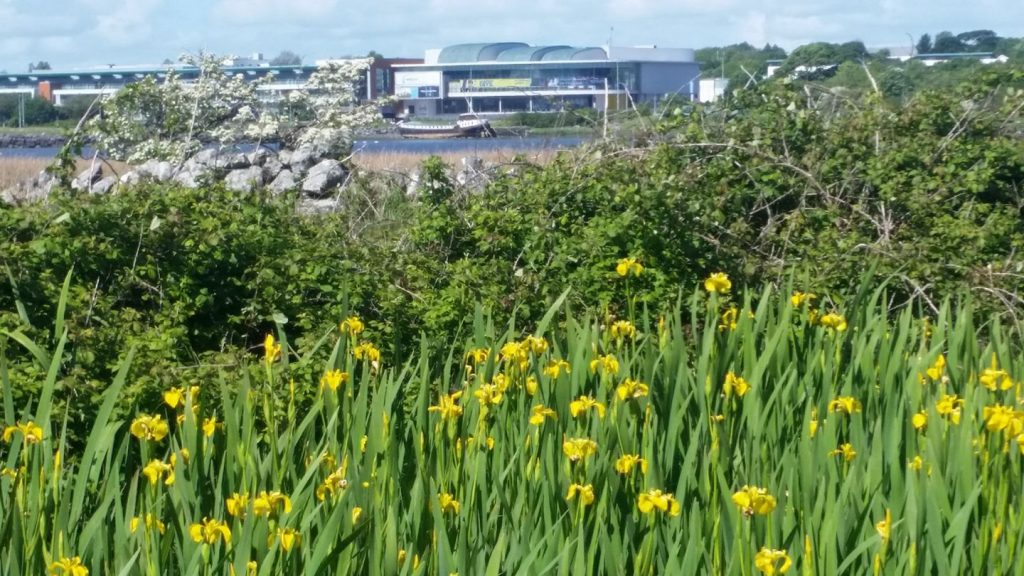 Daffodils - faded daffodils at Lough Atalia