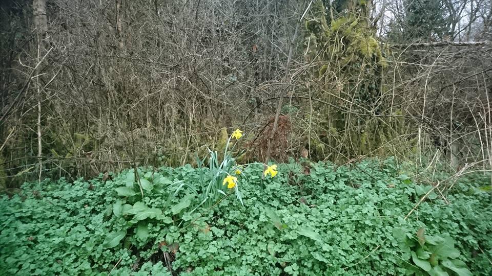 Daffodils at Ballinamuck - hoping to make progress this autumn...